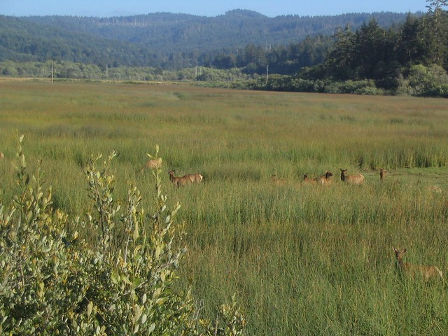 Roosevelt Elk, Harry A. Merlo State Recreation Area Near Redwood National Park, California