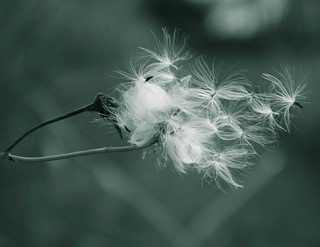 Dandelion Seed | by Bird Eye