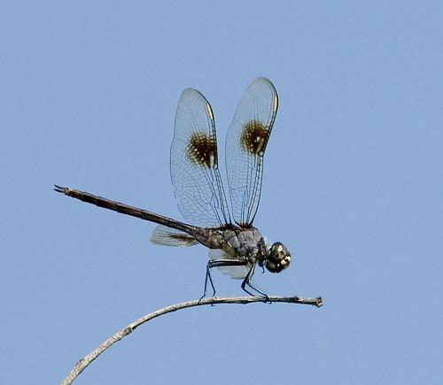 female nc dragonfly insects august lateral odonata libellulidae pennants anisoptera ntopsailisland commonskimmers tramea fourspottedpennant horizontalperch brachymesia brachymesiagravida
