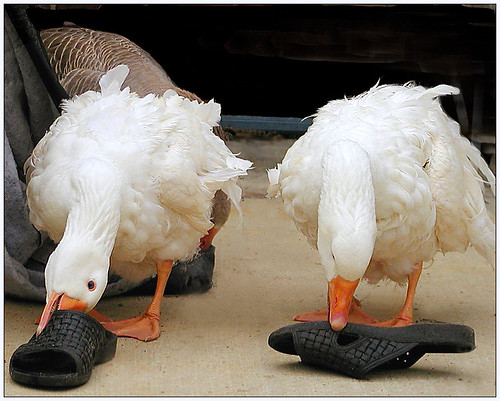 geese quality sebastopol c2100 featheryfriday aswpix specanimal abigfave artlibre gigglegram livingwith sebastopolgeese sebastopolgoose