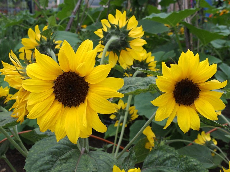 Sunflowers at Wisley