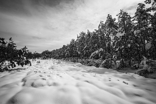 dogwood dogwood2018 leadinglines snow snowcovered pines pinebarrens lacey nj newjersey landscape cotton