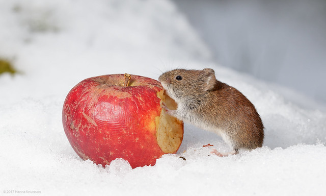 Bank Vole Eating Apple on Snow