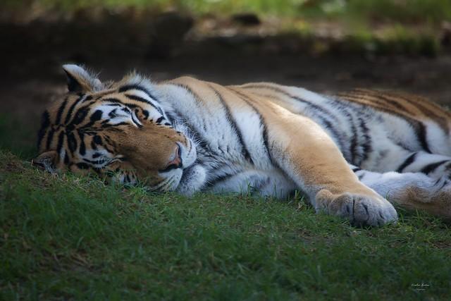 O Descanso do Tigre