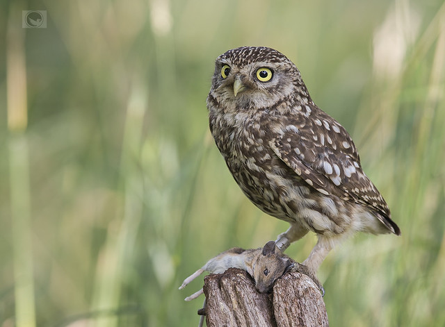 IMG- Little owl