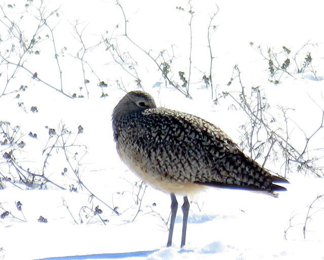 Resting Curlew, watching me