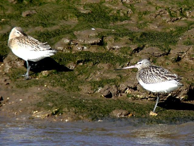Bar-tailed pair 14.3.19
