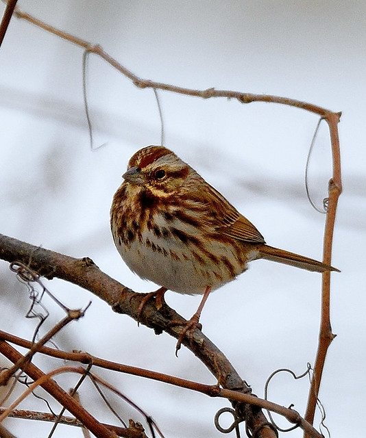 Bruant chanteur - Song Sparrow - Gorrión melódico