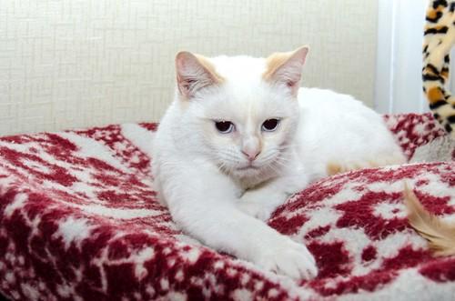 Corinto, gatito siamés Red Point muy guapo, esterilizado tímido y bueno nacido en Octubre´18, en adopción. Valencia. 33274922188_b60e123921