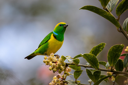 Golden-browed Chlorophonia   by Rob & Amy Lavoie