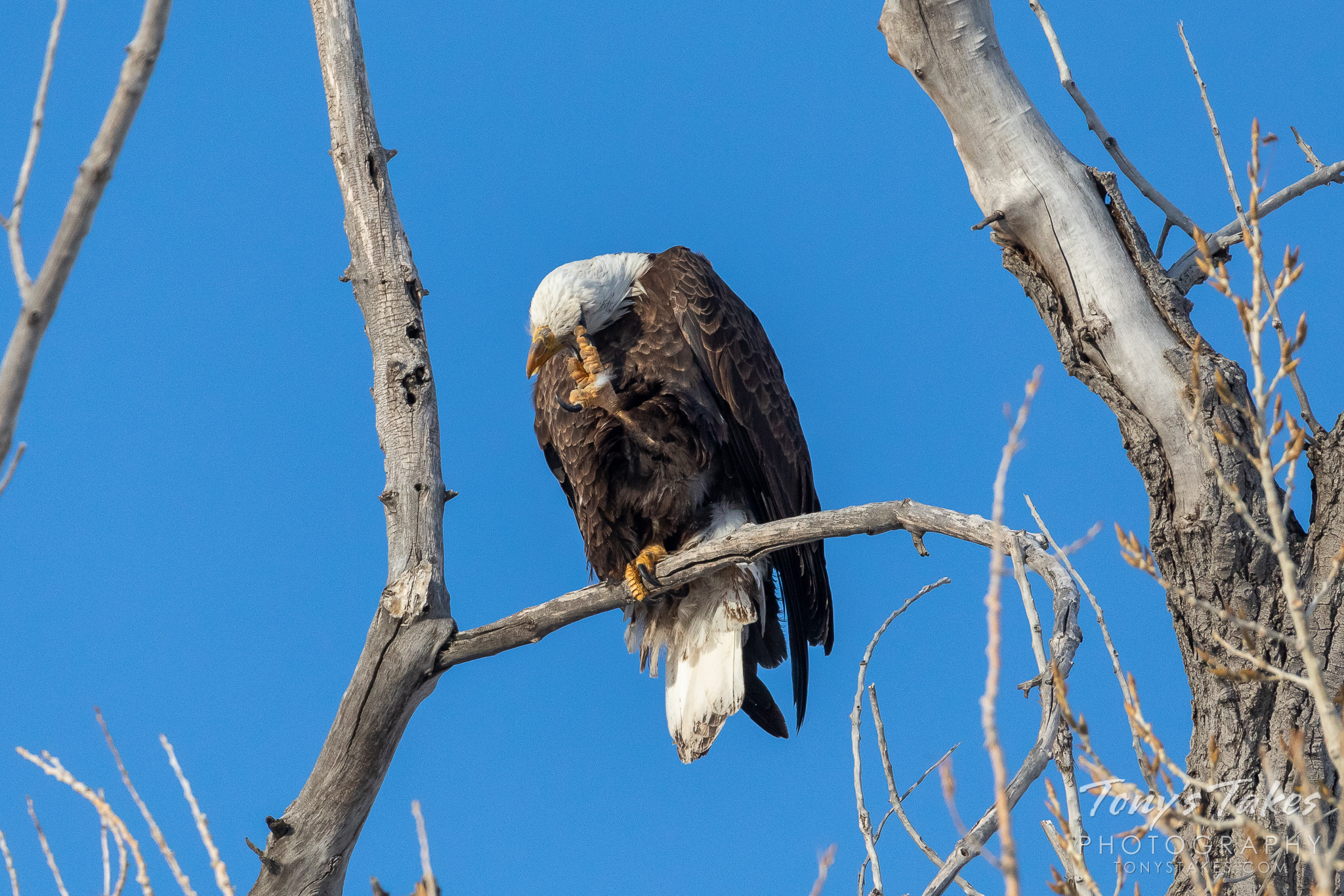 A bald eagle scratches its head while perched at the Rocky Mountain Arsenal National Wildlife Refuge. (© Tony's Takes)