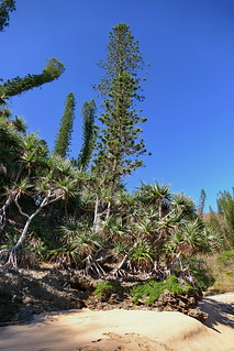 Araucaria columnaris | by Ben Caledonia