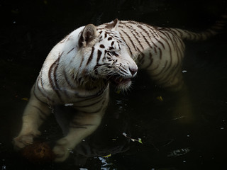 Fierce Face of  a White Tiger