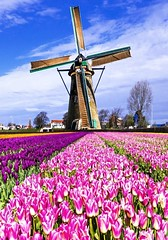 Landschaft - Windm�hle in Tulpen Plantage
