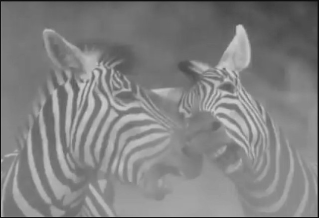 Not a docile creature  -  the zebra
