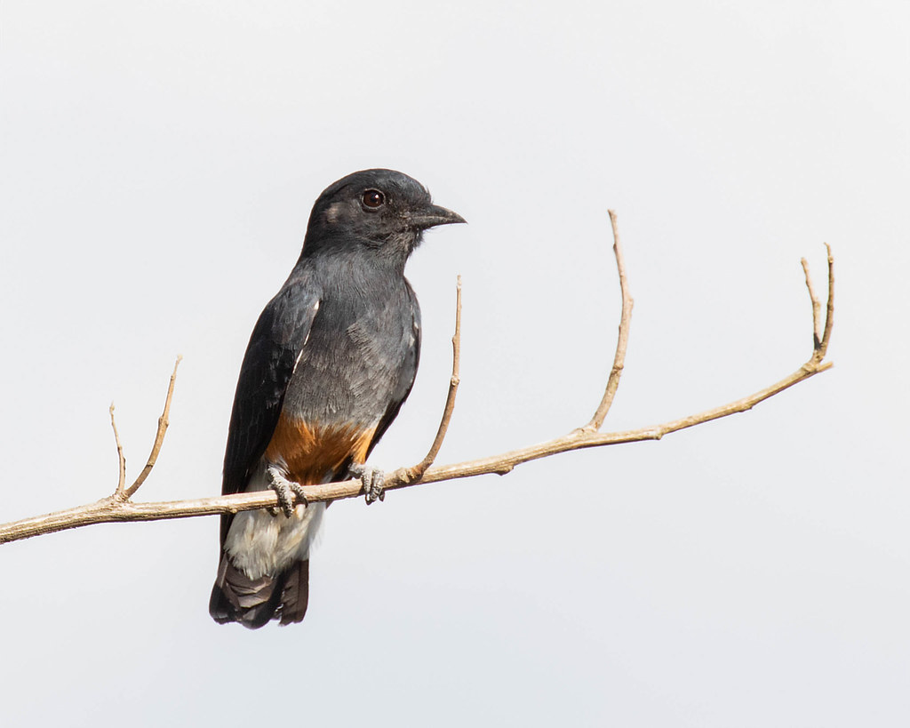 PUFFBIRD, Swallow-winged