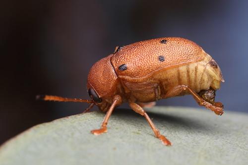 Cylinder Eucalyptus Leaf Beetle (Cadmus excrementarius)