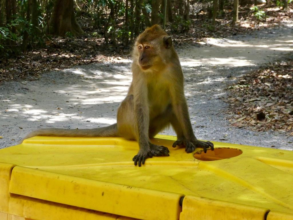 Monkey, Pulau Ubin Island, Singapore