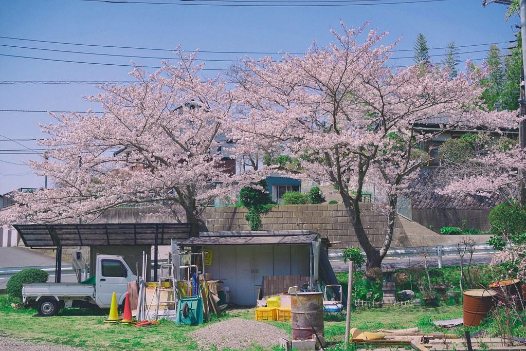 Sakura at Parking in Katorijingu