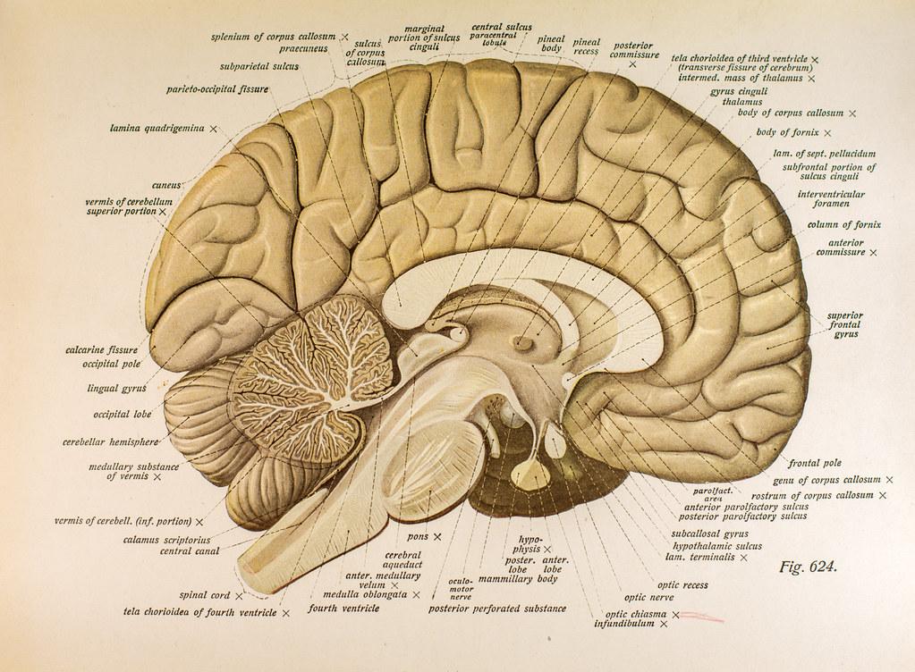 Left Hemisphere Brain Fig 624   The left hemisphere of the ...