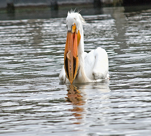 Pelican With Dinner | by garywitte845