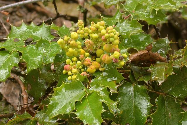 New flowers of Shiny-Leaved Barberry (Berberis pinnata, Berberidaceae)