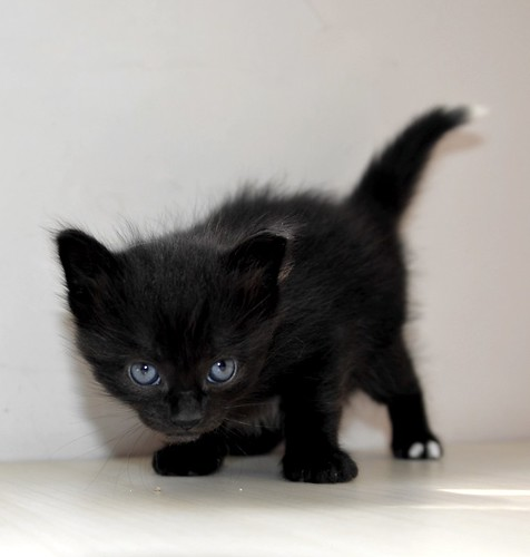 Yoel, gatito monisimo pelo semilargo negro esterilizado, nacido en Febrero´19, en adopción. Valencia. 46736835304_4f697cb53d