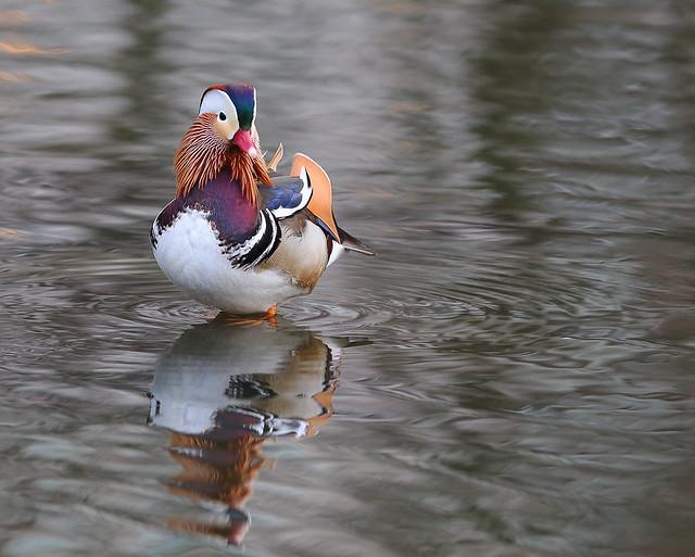 mandarin duck stands tall