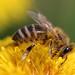 Pollen by malioli
