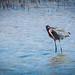 Reddish Egret por Clifford Pringle