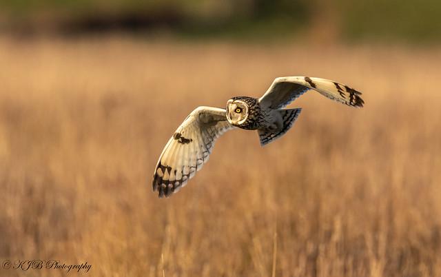 Short Eared Owl(Flight)