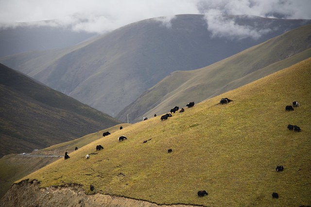 Grazing Yak, Tibet 2018