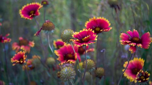 firewheel flowers girasolrojo indianblanket landscape morning nature outdoors sertomapark siouxfalls southdakota theoutdoorcampus sd unitedstates