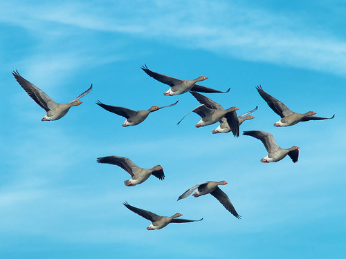 Greylags in flight | by andy.peter