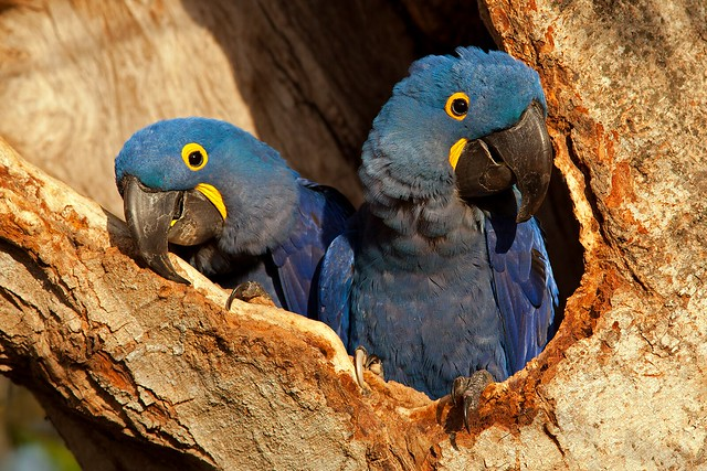Hyacinth Macaw Pair in Nest