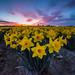 Daffodil Festival - Skagit Valley by CraigGoodwin2