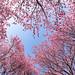 桑田山 雪割桜