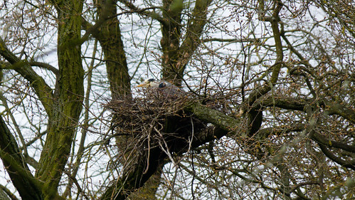 Heron on the nest, Pendeford Mill