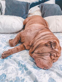 SHAR-PEI | by Luciana Couto
