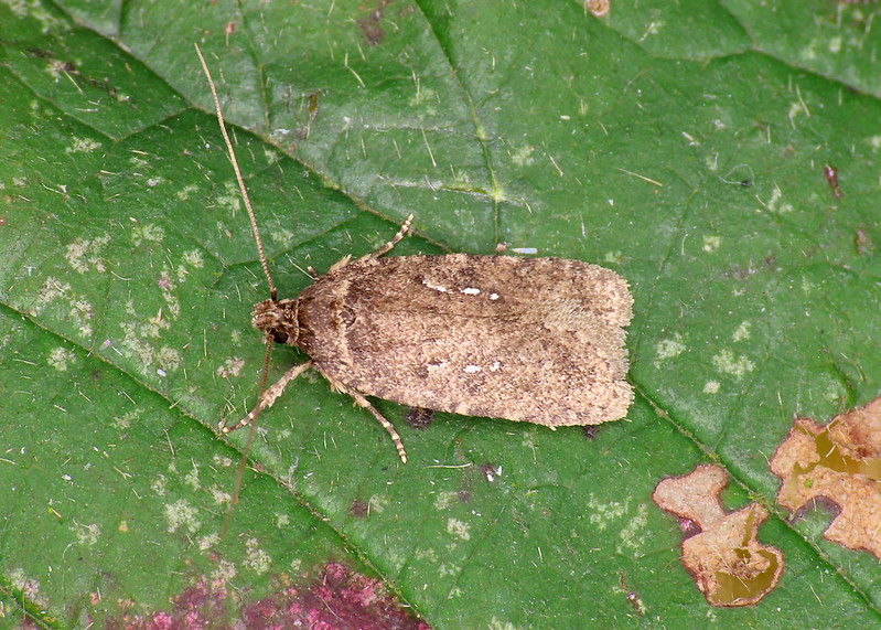 32.018 Common Flat-body - Agonopterix heracliana