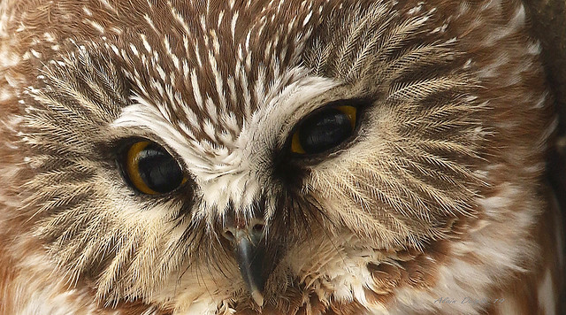 Petite Nyctale \ Northern  Saw-whet Owl