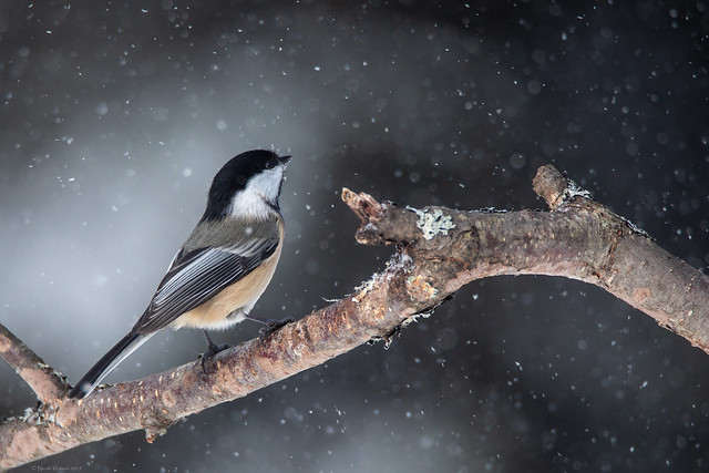 Chickadee and the Snow