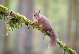 Red Squirrel | by Chas Moonie-Wild Photography