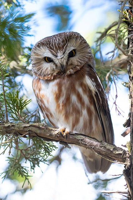 Northern Saw-whet Owl - Aegolius acadicus | 2019 - 2