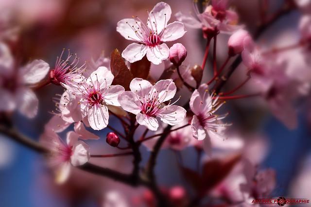 Fleurs Pétales de Couleurs et Primptemps (4)