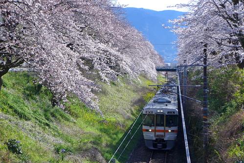 山北駅付近の桜並木