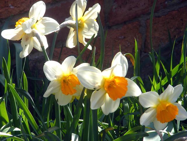 April Garden..x  Daffs..