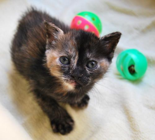 Narubi, gatita carey de cara bicolor amorosa esterilizada, nacida en Marzo´19, en adopción. Valencia RESERVADA. 46683993435_78d5a8323f
