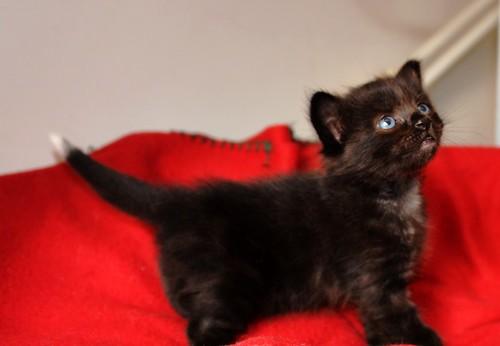 Yoel, gatito monisimo pelo semilargo negro esterilizado, nacido en Febrero´19, en adopción. Valencia. 46736835044_8fc3252fea