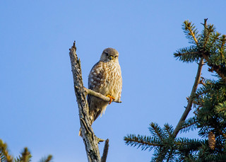 Merlin- Falco columbarius